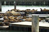 Sea Lions in Harbor — Stock Photo