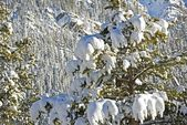 Spruce Trees in Snow — Stock Photo