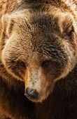 Grizzly Bear Closeup — Foto de Stock