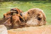 Grizzly Bear Water Fun — Stockfoto