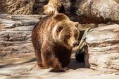 Walking Grizzly Bear — Stockfoto
