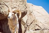 Colorado Bighorn Sheep — ストック写真