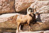山大角羊 — 图库照片