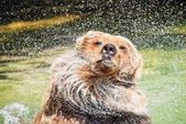 Bear Shaking Off Water — Stockfoto