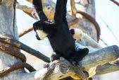 Monos capuchinos con capucha — Foto de Stock