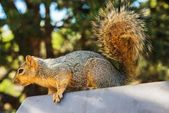 Adult Squirrel  — Stockfoto