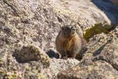 Colorado Marmot — Stock Photo