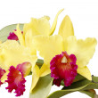 Cattleya Orchids — Stock Photo