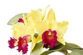 Cattleya Orchids — Stock Photo