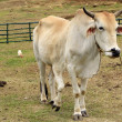 Stock Photo: Five legged legs cow