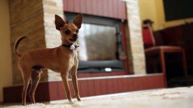 Little cheerful doggie — Stock Video