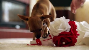 Doggie and bouquet — Stock Video