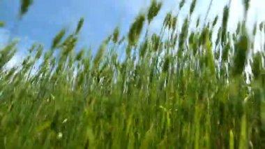 Green wheat — Stock Video