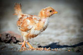 Small chick — Stock Photo