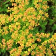 Euphorbia esula — Stock Photo