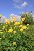 Globeflower — Stock Photo