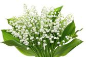 Lily of the valley — Stock fotografie