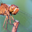 Stock Photo: Head of dragonfly