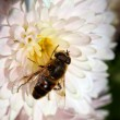 Bee at flower — Stock Photo