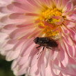 Fly at flower — Stock Photo
