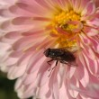 Stock Photo: Fly at flower