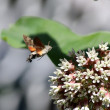 Hummingbird insect — Foto Stock
