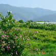 The famous rose fields in the Thracian Valley near Kazanlak Bulgaria — Stock Photo