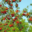 Stock Photo: Ashberry branch