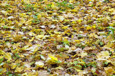 Colorful fall maple leaves — Stock Photo