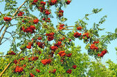 Ashberry branch — Stock Photo