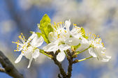 Branch of a blossoming tree with beautiful white flowers — Stockfoto