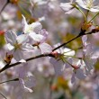 Sakura flowers branch — Stock Photo