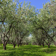 Blossom apple trees garden in the spring — Stock Photo