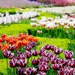 Beautiful tulips in a botanical garden — Stock Photo