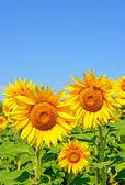 Zonnebloemen tegen de blauwe hemel — Stockfoto