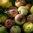 Stock Photo: Heap of rotting and decomposing apples in garden