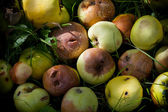 Heap of rotting and decomposing apples in the garden — Stock Photo
