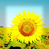 Beautiful sunflower on blue sky background — Stock Photo
