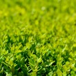 Close up on fresh green grass texture background — Stock Photo