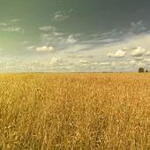 Kukurydza jest uzyskanie dojrzałych w polu — Zdjęcie stockowe