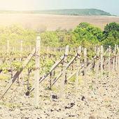 Filas de jóvenes uvas en el campo — Foto de Stock