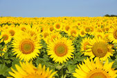Sunflower field under blue sky — Stock Photo