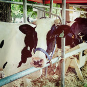 Dairy cows in a farm — Stock Photo