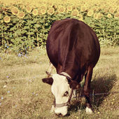 Black cow on sunflower field background. Vintage retro style — Stock Photo