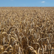 Stock Photo: wheatfield