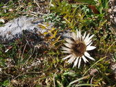 Silver thistle - carlina acaulis — Stock Photo
