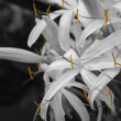 Crinum asiaticum - Amaryllidaceae (SWY) - Stock Photo