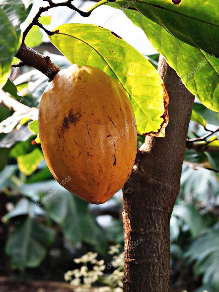 可可树的果实 — 照片作者 lilu_foto