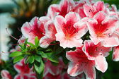 Pink Rhododendron - Rhododendron simsii — Stock Photo