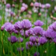 Stock Photo: Purple blooming chives (allium) (30)